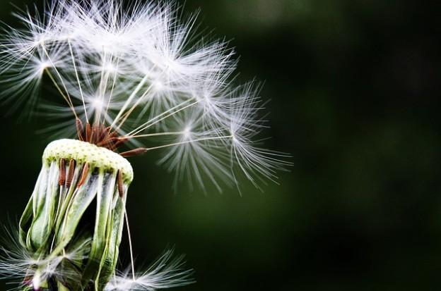 dandelion-1452219_640